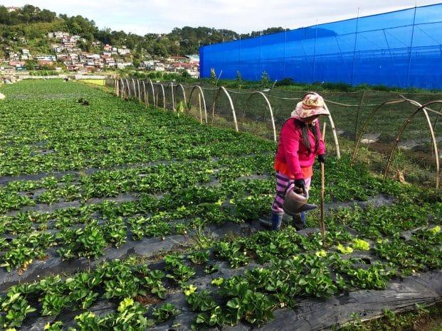 Photo of a Farmer in La Trinidad Benguet