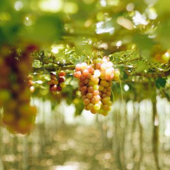 gapuz grape farm la union