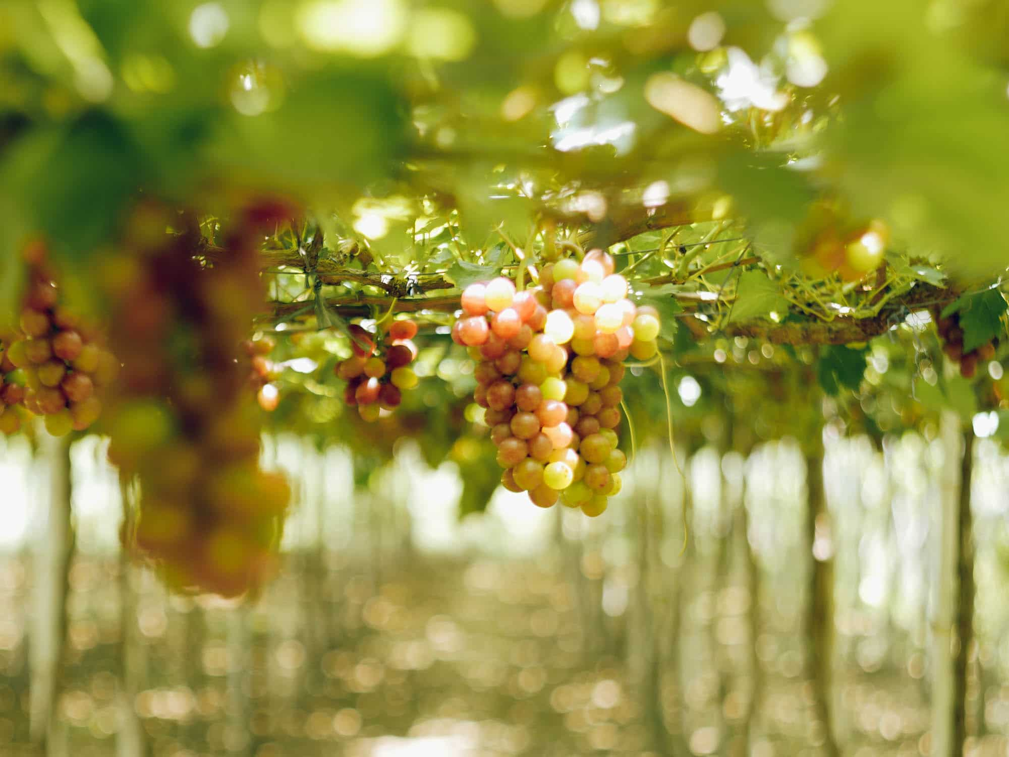 The Luscious Grapes Farm Of La Union Lost And Wonder
