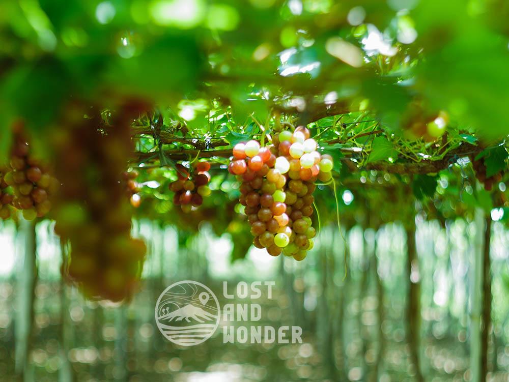 Picture of Gapuz Grapes Farm in La Union