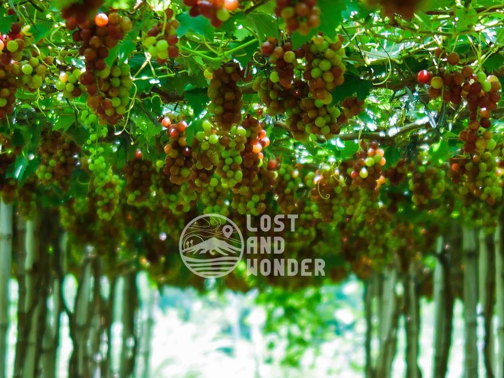 Photo of a grape farm in La Union