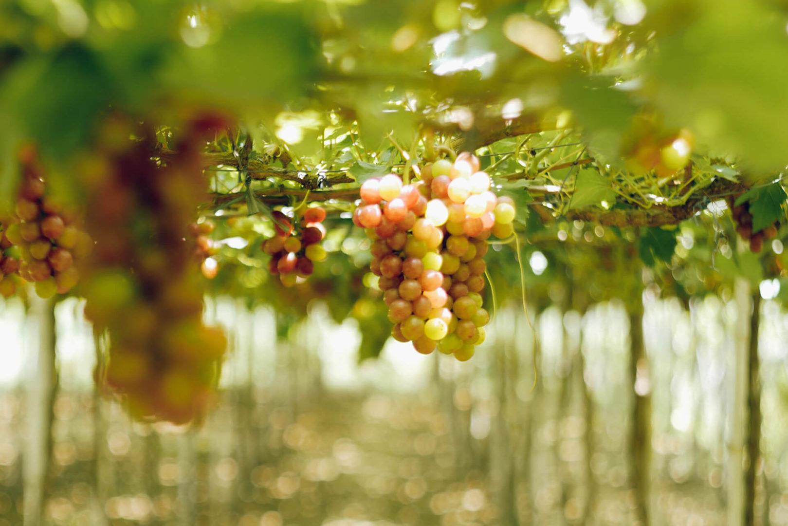 Photo of La Union Grape Farm