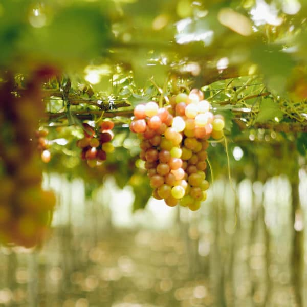Photo of La Union Grape Farm
