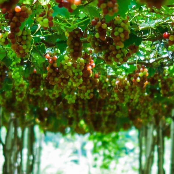 Picture of a grape farm in La Union Philippines