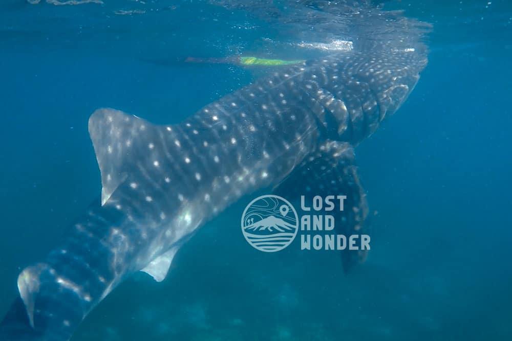 Photo of a whale shark in Oslob Cebu
