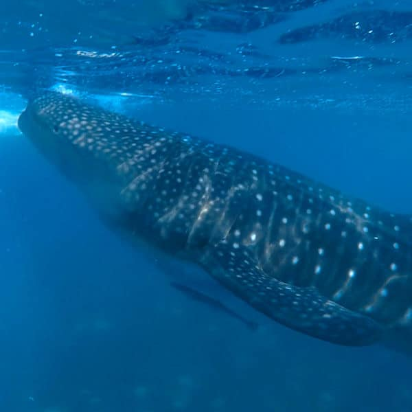 Photo of a Whale Shark in Oslob Cebu Philippines